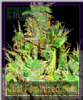 Emerald Triangle OG Critical Feminised 5 Seeds